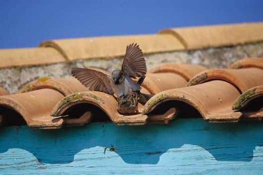 Haussperling Paarung © M. Nieveler/Piclease
