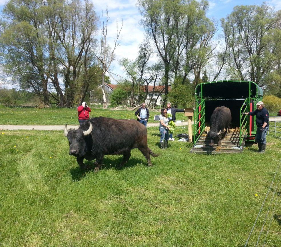 Beweidungs-Projekt mit Wasserbüffeln im Thalhamer Moos