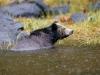 Brown Bear, British Columbia