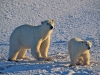 Polar bear and cub, Churchill, Manitoba