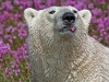 Polar bear and fireweed