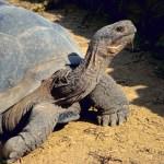 Galapagos Tortoise Lonesome George Dies