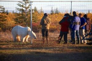 Polar bear viewing at Nanuk Lodge 2013