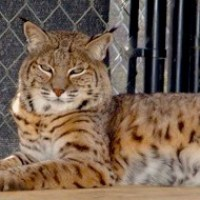 Bobcats (Lynx rufus) are one of the few big cats found in North America, and also have the greatest range of North American cats and one of the most successful predators in North America. They are the smallest member of the Lynx genus of cats but are still twice as large as domestic cats.
