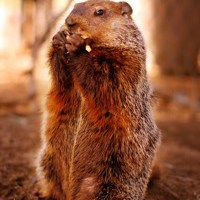 Groundhogs (Marmota monax) are also commonly known as woodchucks and can be found in Northern America including Alaska, Canada, and throughout the eastern United States. While primarily seen on the ground, groundhogs are actually very adept climbers and can also swim.