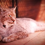 The Siberian lynx (Lynx Lynx) is the largest of all the lynxes, and also the most widespread. They can be found in parts of Europe, northern Asia and the Middle East. One of the first things to notice on these awesome cats are their giants paws! These large paws have fur on the soles that allow for better traction which can help in snowy climates, like always wearing your snowshoes.