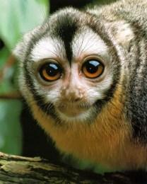 Olivia the Owl Monkey