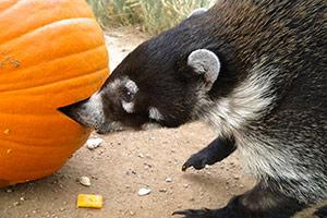 Chloe eating a pumpkin