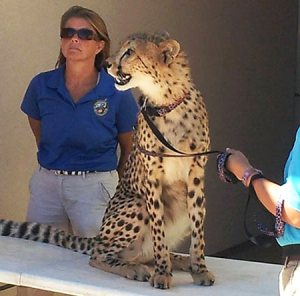 Cheetah Masika with Trainers