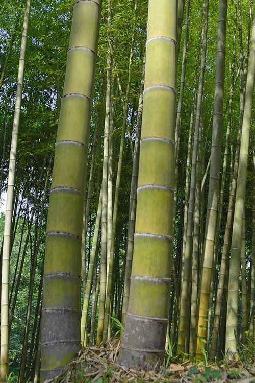 ornamental bamboo plants