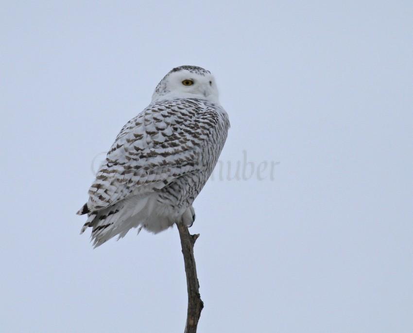 Snowy Owls near the Horicon Marsh on January 16, 2015 ...