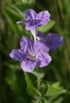 Wild Petunia, Ruellia humilis