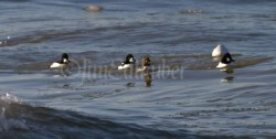 Common Goldeneye on both sides with the Barrow's Goldeneye in the middle