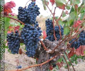 Alicante Bouschet Wine Information