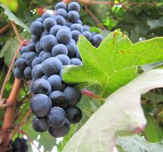 Bobal grape variety