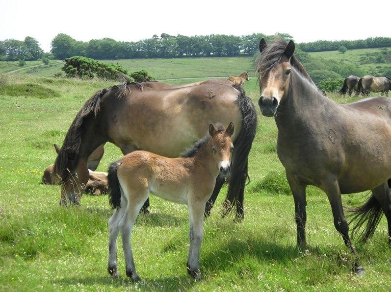 Exmoor Ponies (3)