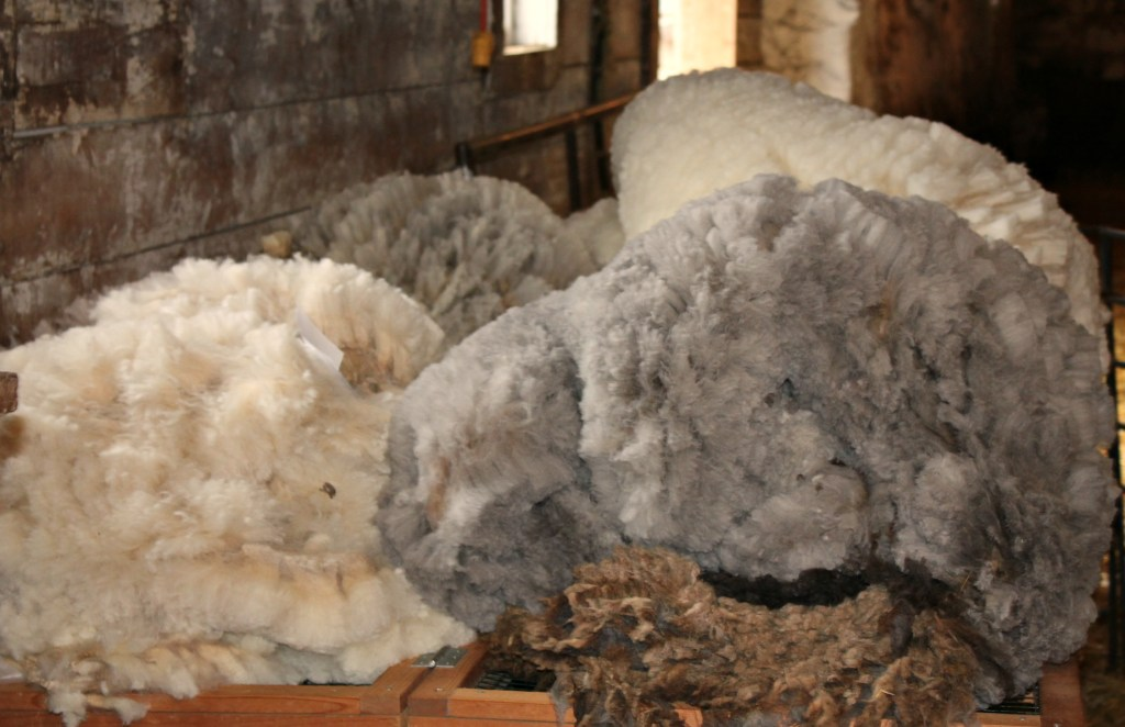 freshly sheared cvm fleeces
