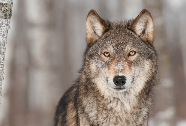 U.S. House of Representatives recently voted to strip wolves of federal protections in Wyoming, Michigan, Minnesota and Wisconsin.