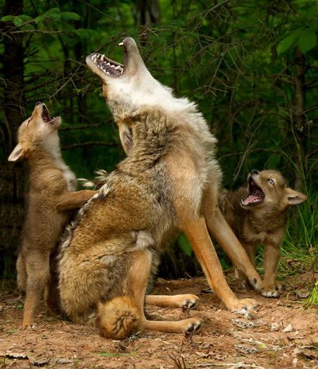 Mamma coyote and pups