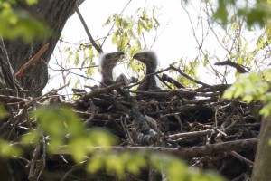 Mike Bourdon of South Bend took this photo of the baby eaglets at Potato Creek State Park on Wednesday, May 6.