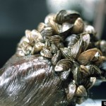 New Strategy to Reduce Invasive Mussels