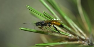 Sirex (European) Woodwasp