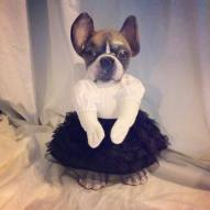 Olivia, the French Bulldog