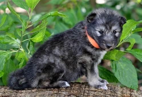 Medium Of Wolf Hybrid Puppies