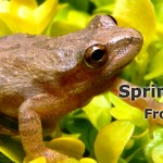 Spring Peeper Frogs 2016