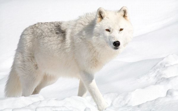 Cute Husky Wallpaper Hd Beautiful Arctic Wolf In Alaska Wolf Facts And Information