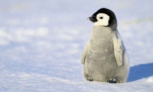 Little Baby Penguin