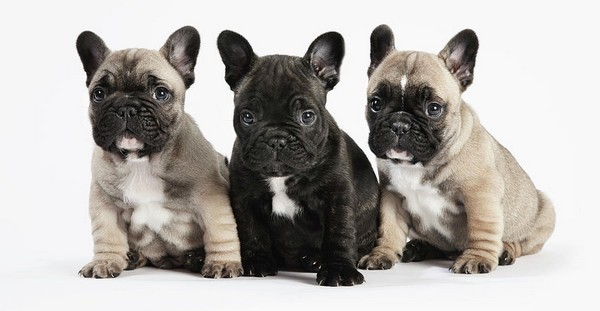 Cute Boston Terrier Wallpaper 10 Dog Breeds That Have Most Adorable Puppies Cutest Puppies