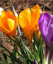 crocus mix_2