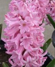 fondant-hyacinth