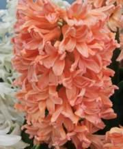 gipsy-queen_hyacinth
