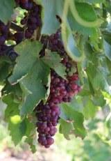 grape resize_2