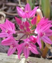 ostrowskianum-oreophilum