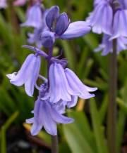 spanish bluebells blue_2