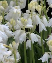 spanish bluebells white_1