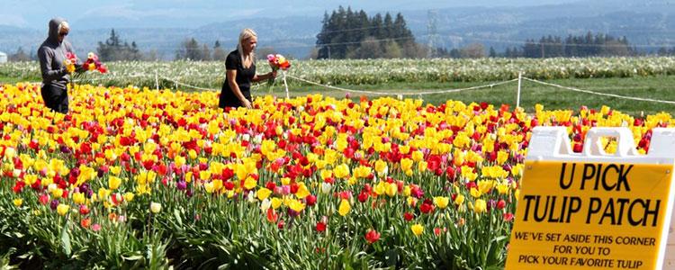 tulip-fest-gallery8