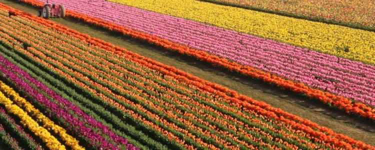 tulip-fest_field