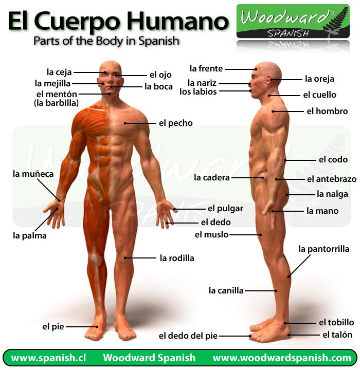 Partes del Cuerpo \u2013 Vocabulario Woodward Spanish