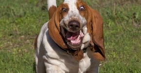 Basset-Hounds-corriendo_thumb.jpg
