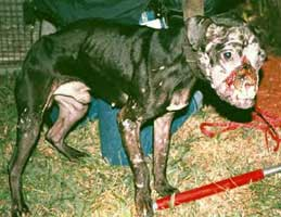 Dog seized from dog fight case in Florida. Dog fighters almost always