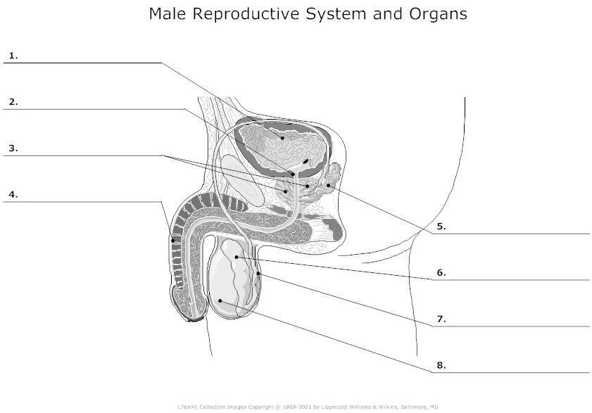 diagram male reproductive system diagram unlabeled