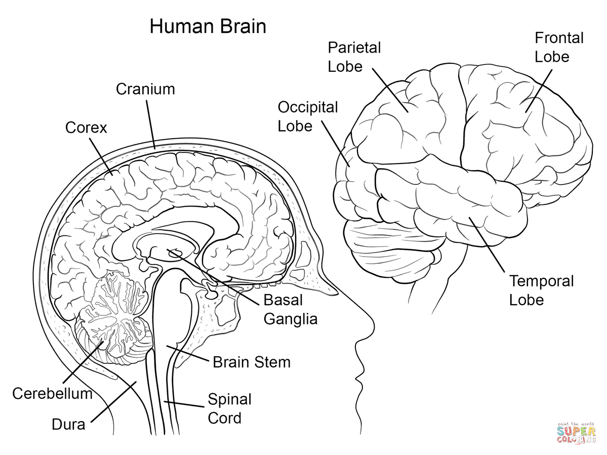 Human Brain Worksheet Coloring Page Auto Electrical Wiring Diagram