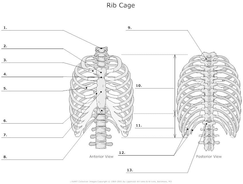 rib head diagram