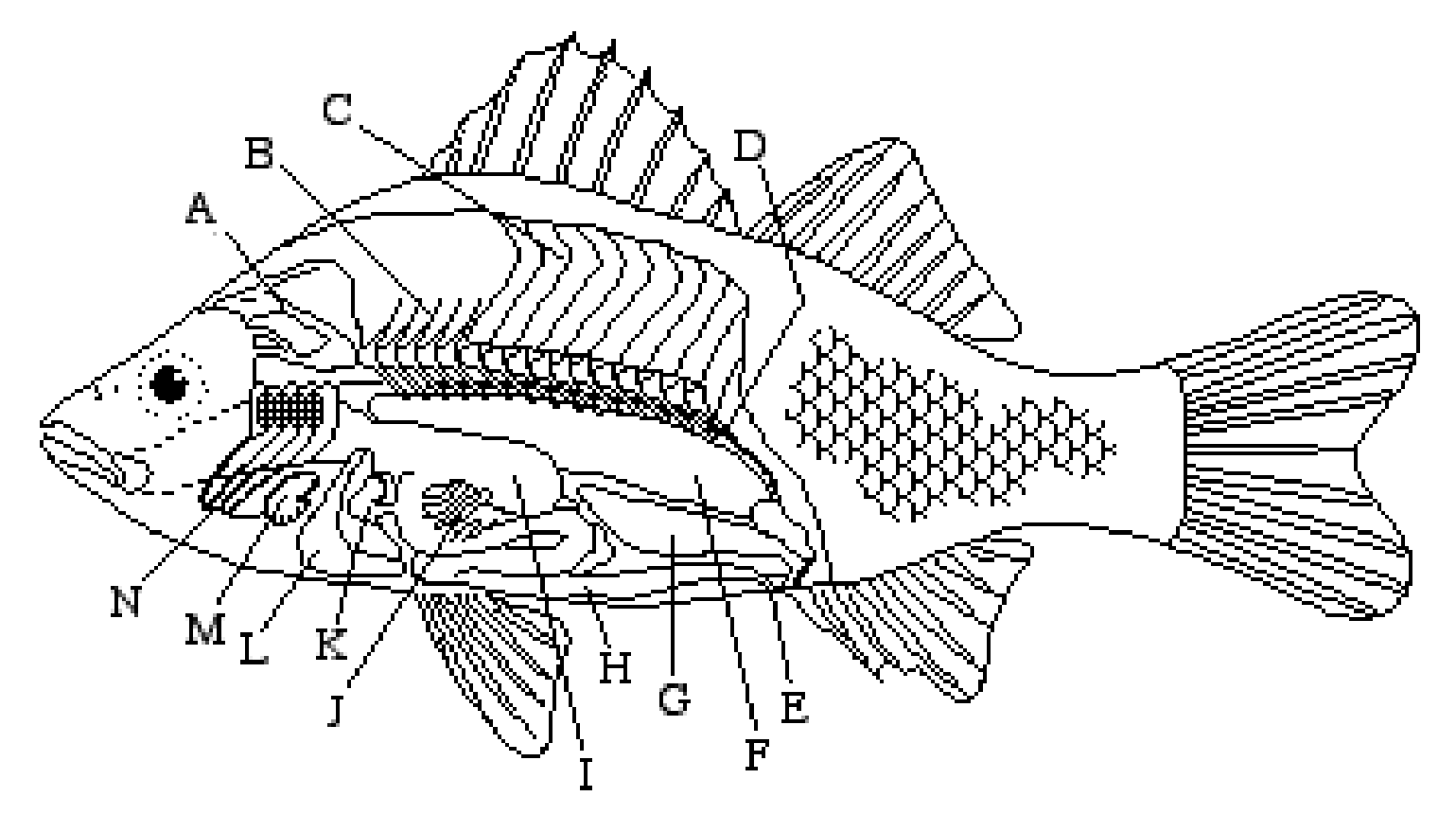 bony fish circulatory system diagram