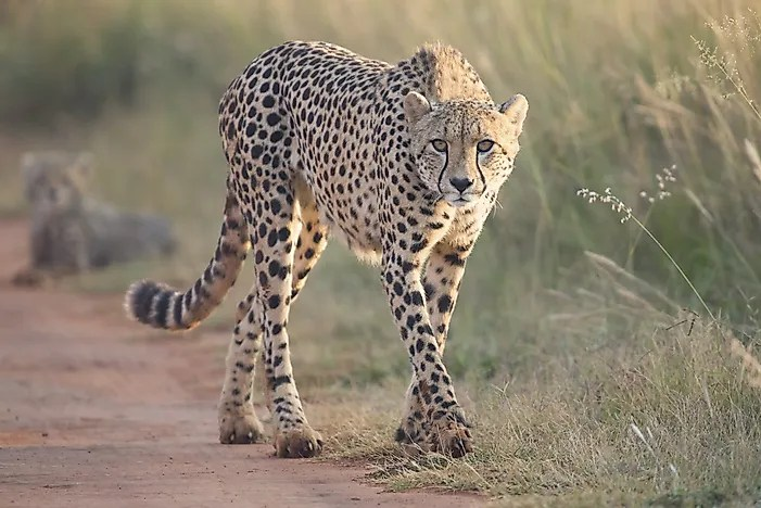 Lineage 2 Wallpaper Hd Where Do Cheetahs Live Worldatlas Com