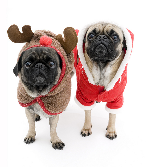 Cute Pug Puppies Wallpapers 21 Cute Animals In Christmas Costumes Pictures